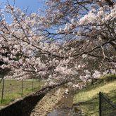 京北の桜満開
